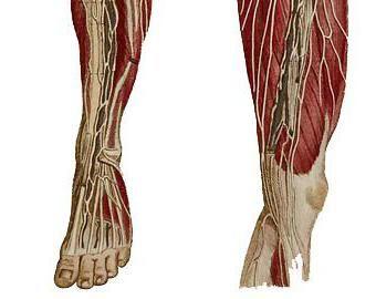 struktura mišića osobe noge