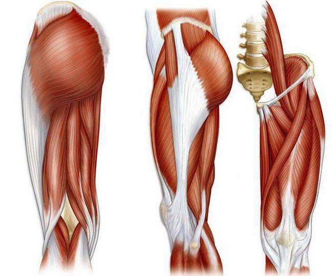 ljudska anatomija mišića nogu