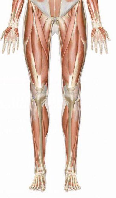 mišiće ljudske noge