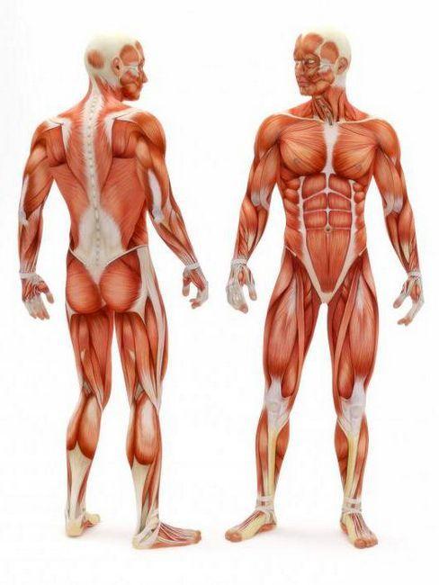 sinergisti mišića
