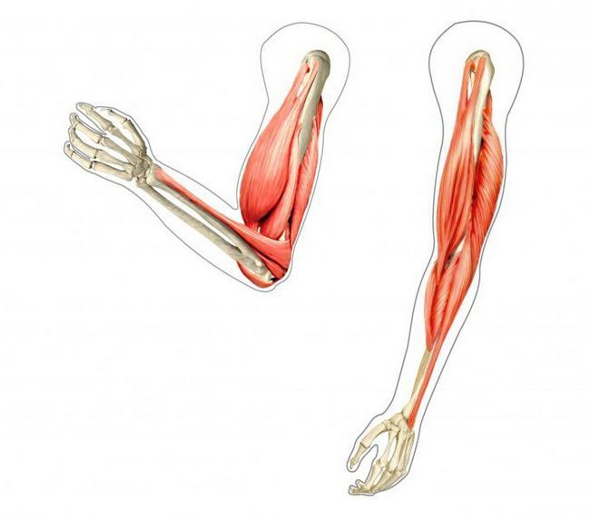 antagonisti agonista sinergističkih mišića