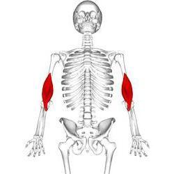 što su mišići sinergisti