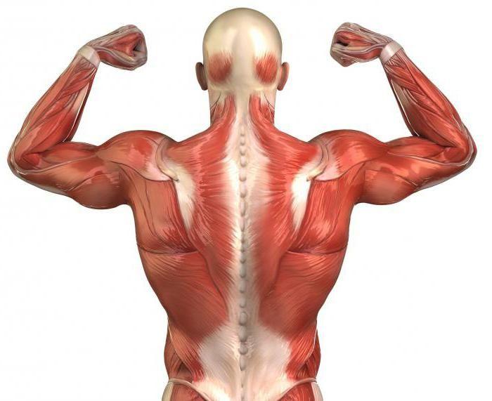 funkcije mišića prtljažnika