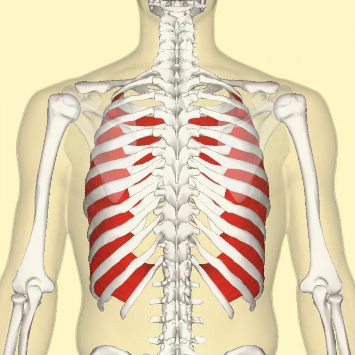 mišiće prtljažnika