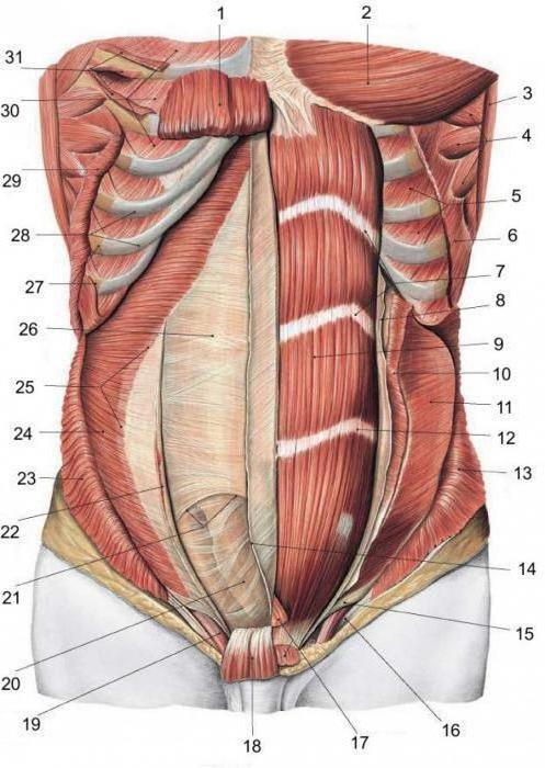anatomija mišića torza