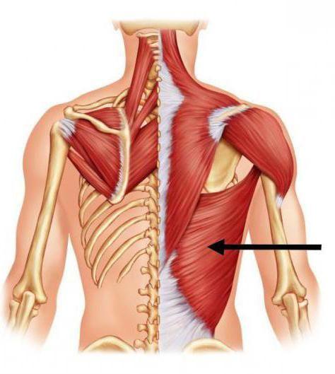 mišiće prtljažnika i ekstremiteta