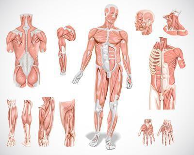 Mišićne vrste mišića