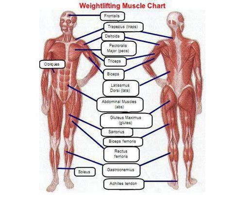 Osnovni mišići