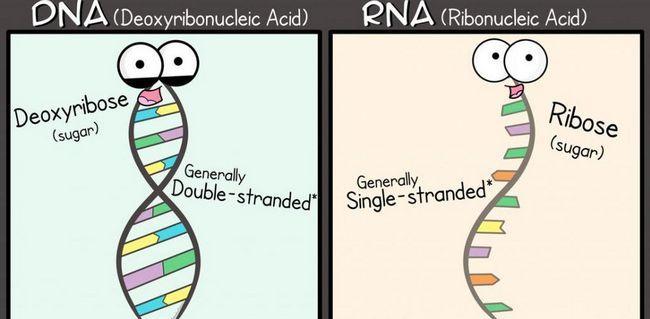 Glavne razlike između RNA i DNA
