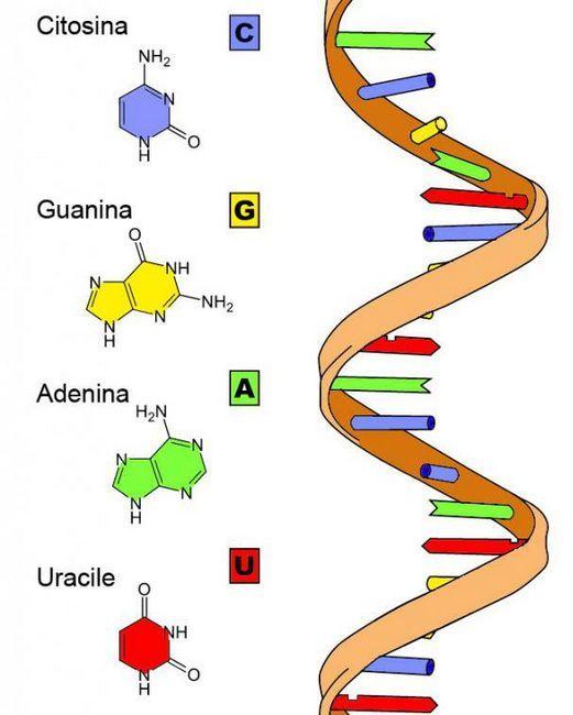 Kemijska struktura RNA