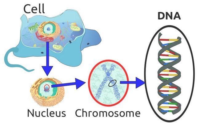 DNA kao dio nuklearnog aparata živih stanica