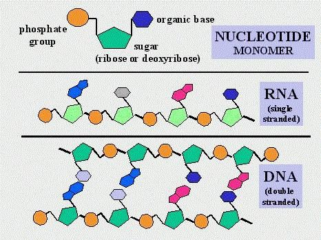 Nukleotidi DNA