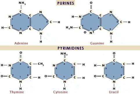 RNA nukleotidi