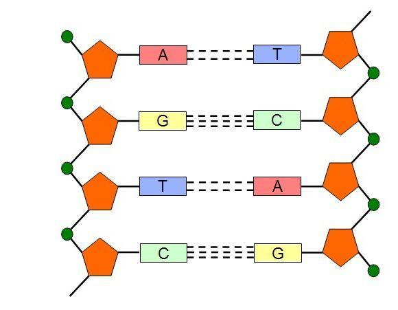 Nukleotidni sastav