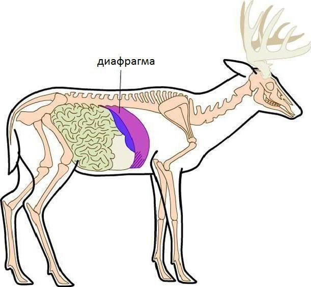 koje životinje imaju dijafragmu