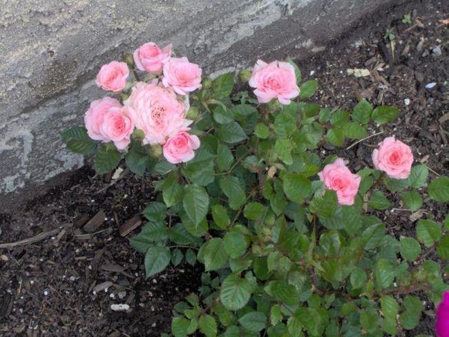 minijaturna ruža