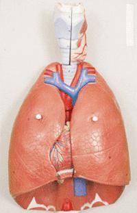 struktura ljudskog dišnog organa