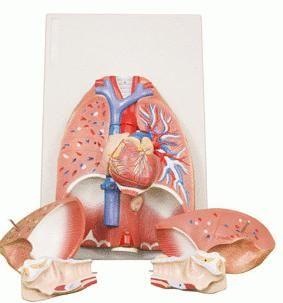 funkcije ljudskog dišnog sustava