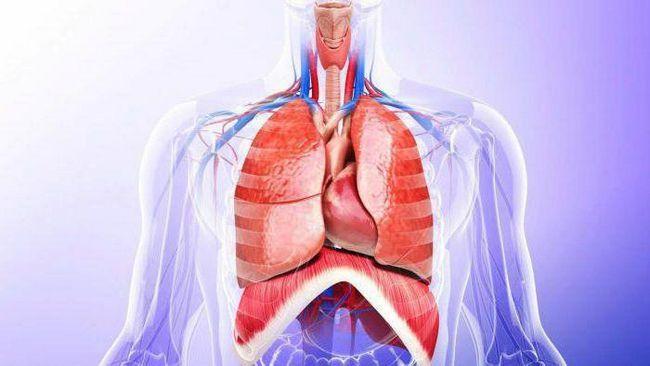 organa ljudske prsne šupljine