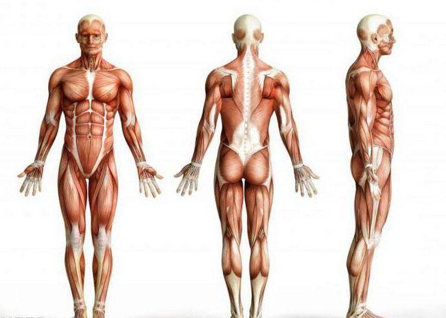 osnovnih mišićnih skupina