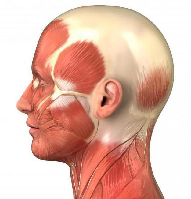 mišićne strukture glavnih skupina mišića
