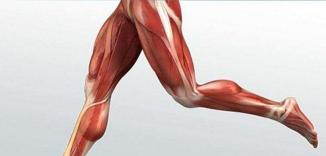 osnovne skupine skeletnih mišića