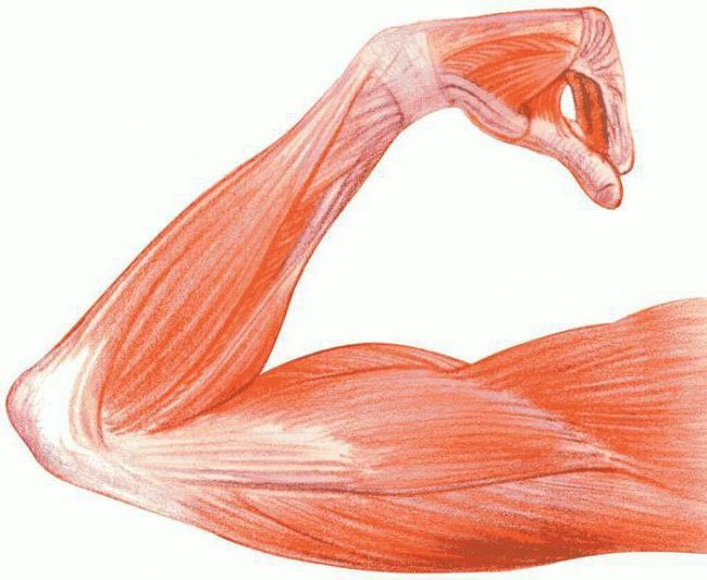 glavne skupine mišića njihove funkcije
