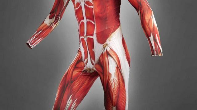 glavne grupe mišića u tijelu