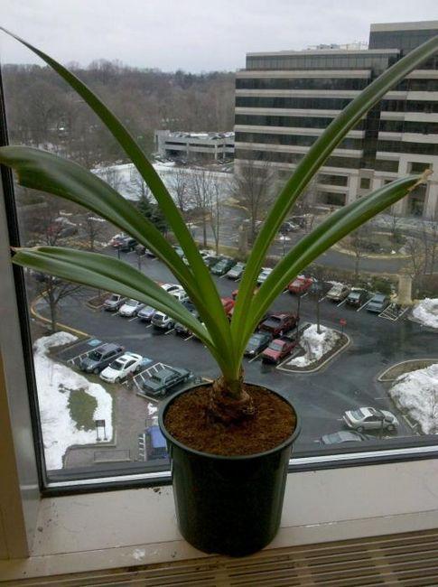 Zašto amaryllis ne cvjeta u sobi?