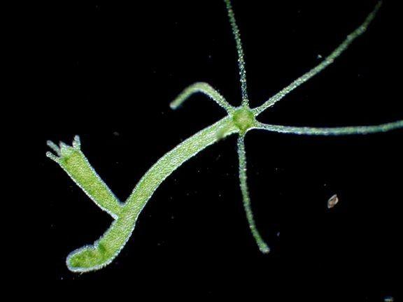 slatkovodna hidra