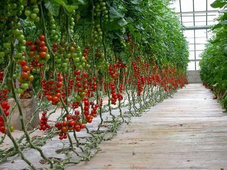 Rajčice u stakleniku. Suptilnost uzgoja