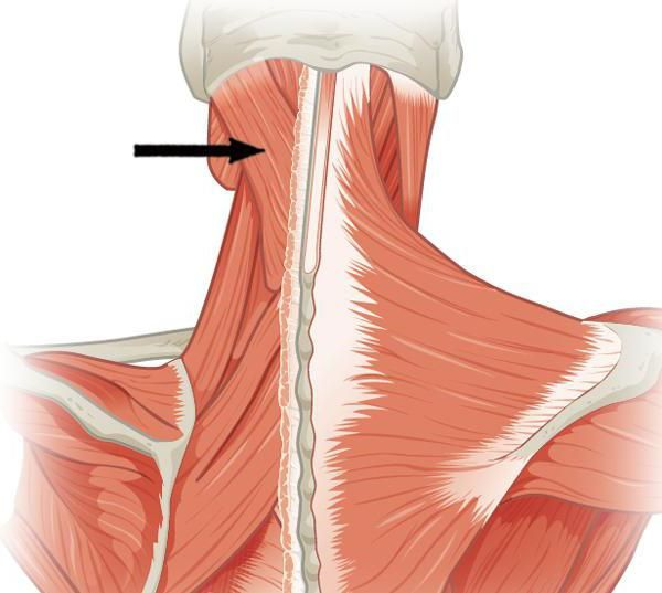 glava funkcije mišića remena