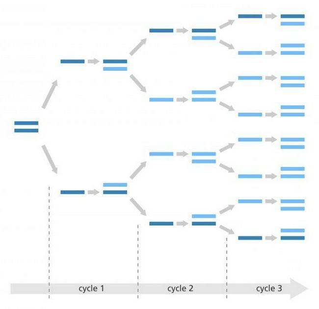 koliko DNA molekula u jezgri nakon replikacije
