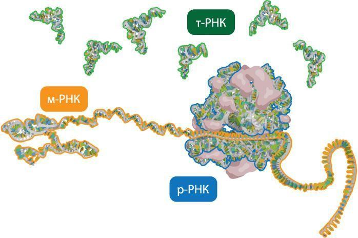 vrste RNA