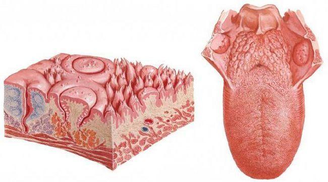 anatomiju usne šupljine i zuba