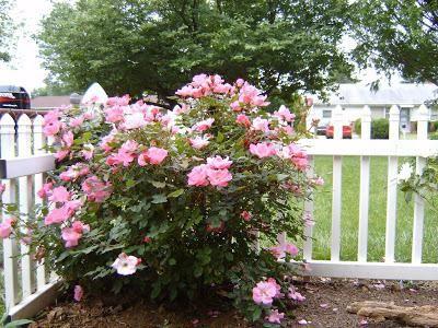 ruža abraham derby