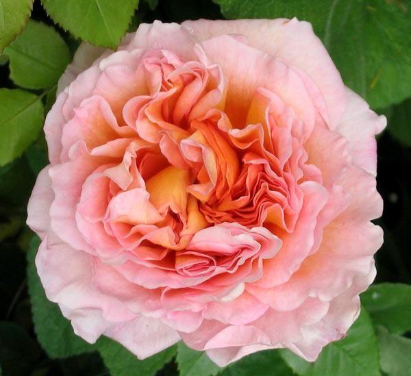 ruža abraham derby opis