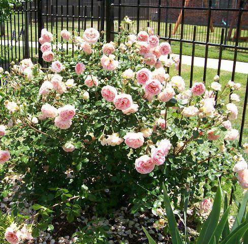 ruža abraham derbi fotografija