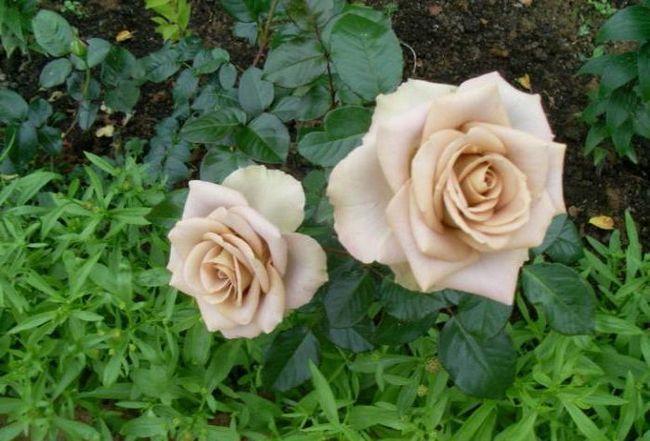 opis amnezije ruže