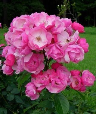 Rose Angela