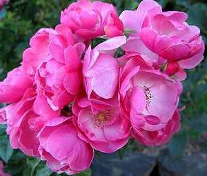 ružičasta anzhela fotografija
