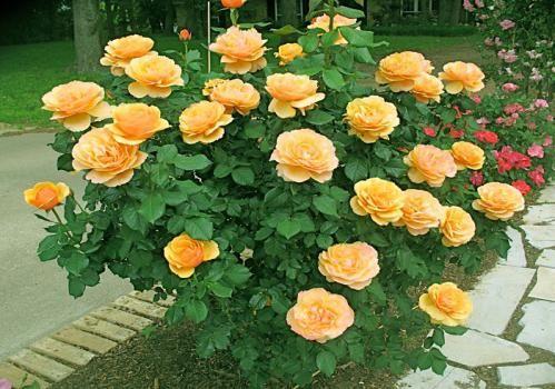ruža sorte grandiflora