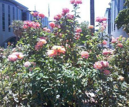 opis ruže grandiflora