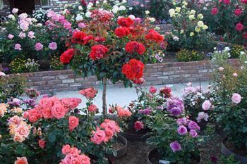 ruža Leonardo da Vincija