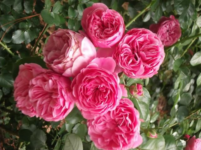 ruža Leonardo da Vinci recenzije
