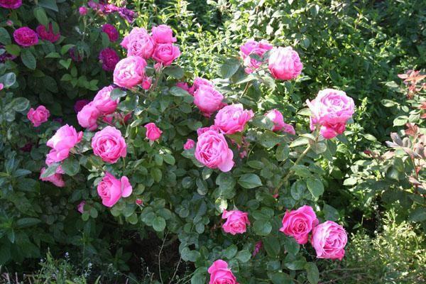 Ruža Floribunda Leonardo da Vinci