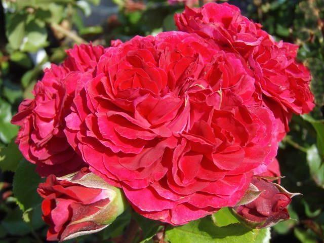 ružičasta crvena Leonardo da Vinci