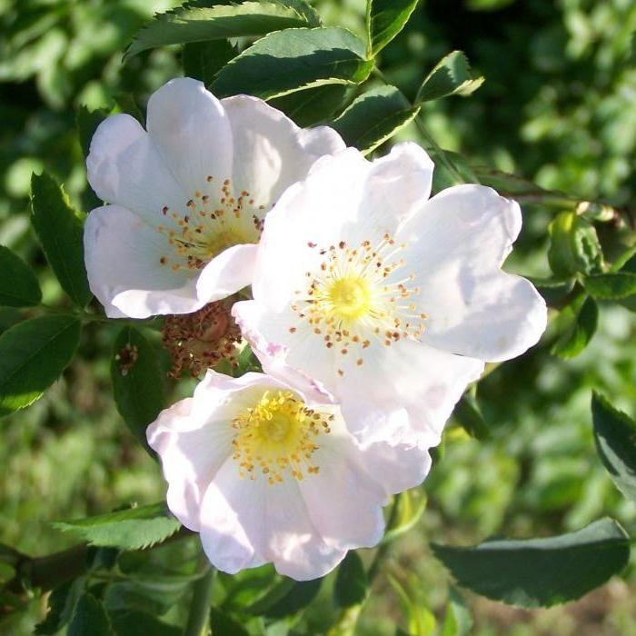 ruža svibnja
