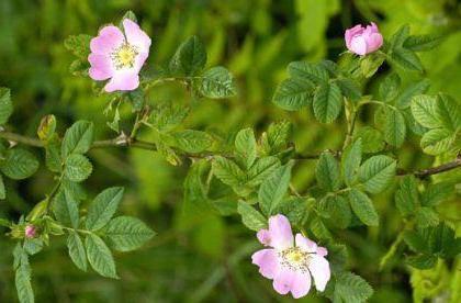biljka ruže
