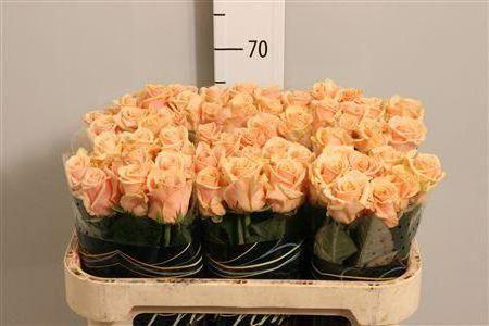 ruža prima donna